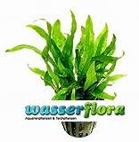 "WFW wasserflora Mini Javafarn/Microsorum pteropus ""Short Narrow Leaf"" - Rarität"