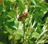 Wirbellose Blasenschnecken (Physidae) - Futterschnecken für Kugelfische 10 Stück