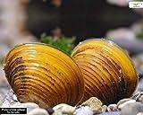 Schnecken Goldene Körbchenmuschel, 10 Stück - Aquarienmuschel/Muschel sorgt für Glasklares Aquariumwasser!