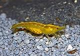 Yellow Fire Garnele - Neocaridina , 10 Stück + 5 Mooskugeln GRATIS Gelbe Zwerggarnelen + eine Futterprobe der Bayerischen Aquaristikmanufaktur