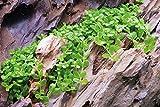 Tropica 1-2-GROW! Mini-Glossostigma / Micranthemum Monte Carlo von TROPICA