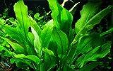 Tropica Aquarium Pflanze Echinodorus bleheri im Topf Topf Nr.071 Wasserpflanzen Aquariumpflanzen