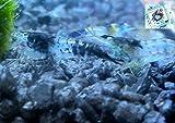 Topbilliger Tiere Blue Carbon Rili Garnele - Neocaridina davidi 5X