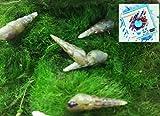 Topbilliger Tiere Malaiische Turmdeckelschnecke 10x - Melanoides tuberculata