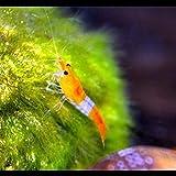 Zierfischtreff.de Orange Rili Garnelen 10 Stück Zwerggarnelen für Nanoaquarium