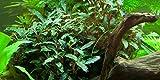 Aquariumpflanze Bucephalandra sp. 'Red' von Tropica Nr.139A Wasserpflanzen Aquarium Aquariumpflanzen