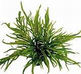 WFW wasserflora Trident Javafarn/Microsorum pteropus trident, TOP-Rarität