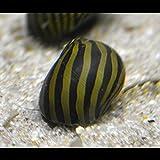 Vittina Coromandeliana - Zebra Rennschnecke - 10 Stück Algenkiller Inklusive 1 Futterprobe  Von Der Bayerischen Aquaristikmanufaktur