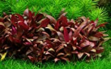 Tropica 1-2-GROW! Mini-Papageienblatt / Alternanthera reineckii 'mini' von TROPICA