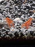 ! Oranger Zwergflusskrebs 3 Tiere