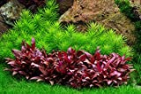 Tropica 1-2-GROW! Indische Sternpflanze / Pogostemon erectus von TROPICA