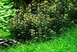WFW wasserflora In-Vitro Bonsai Rotala/Rotala 'Bonsai'