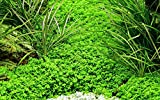 Tropica Aquarium Pflanze Hemianthus callitrichoides 'Cuba Nr.048B TC in Vitro 1-2 Grow Wasserpflanzen Aquariumpflanzen