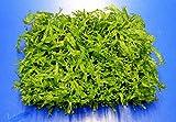 WFW wasserflora Green-Wall XL gekräuseltes Javafarn/Microsorum pt. Windelov auf Matte ca. 170x140 mm