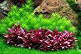 WFW wasserflora In-Vitro Mini-Papageienblatt/Alternanthera reineckii 'Mini'