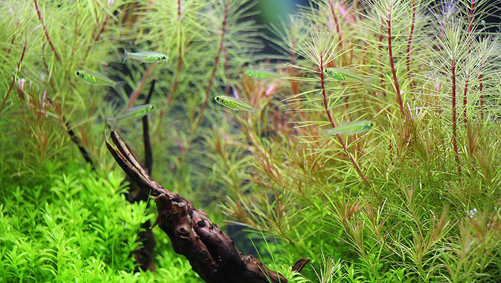 Fische fürs Eckaquarium