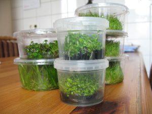 In-Vitro-Aquarienpflanzen Nährgel und die Lagerung