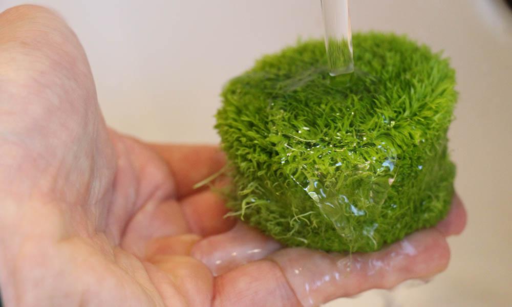 in-Vitro-Aquariumpflanzen: Nährgel entfernen