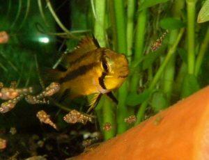 Fischbrut mit Artemia aufziehen