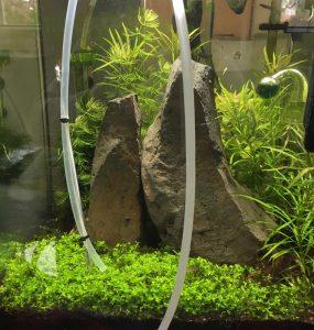 Mulmsauger im Nano-Aquarium