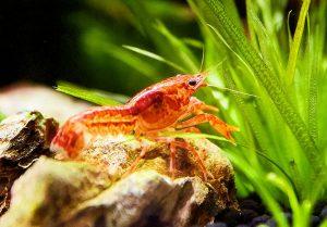 Der Zwergflusskrebs CPO im Mini-Aquarium
