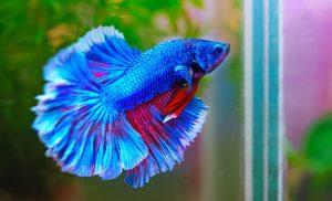 Kampffisch im Mini-Aquarium