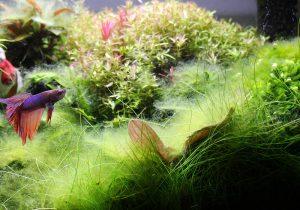 Algenpest im Aquarium