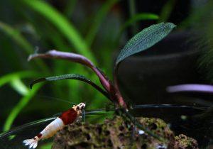 Algenfreie Bucephalandra