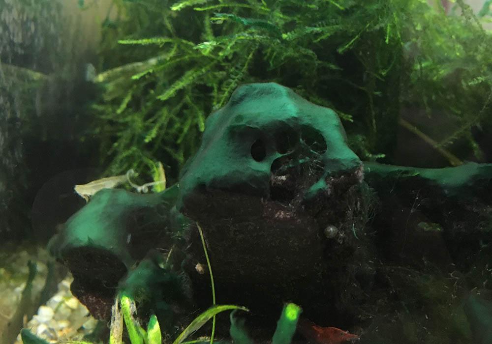 Blaualgen auf Dekogegenstand im Aquarium