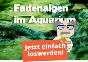 Fadenalgen im Aquarium