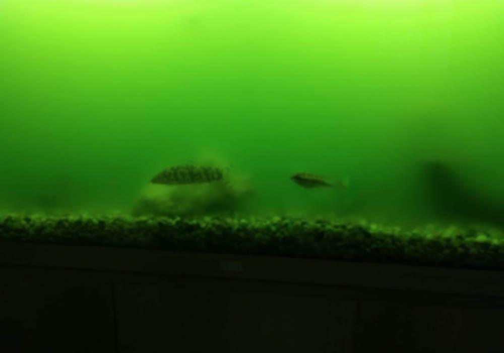 Schwebealgen im Aquarium: mit diesem Hilfsmittel waren sie plötzlich weg 3