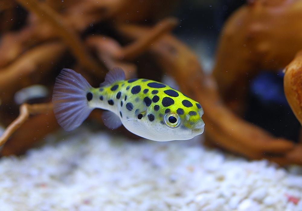 Kugelfisch gegen Schnecken im Aquarium