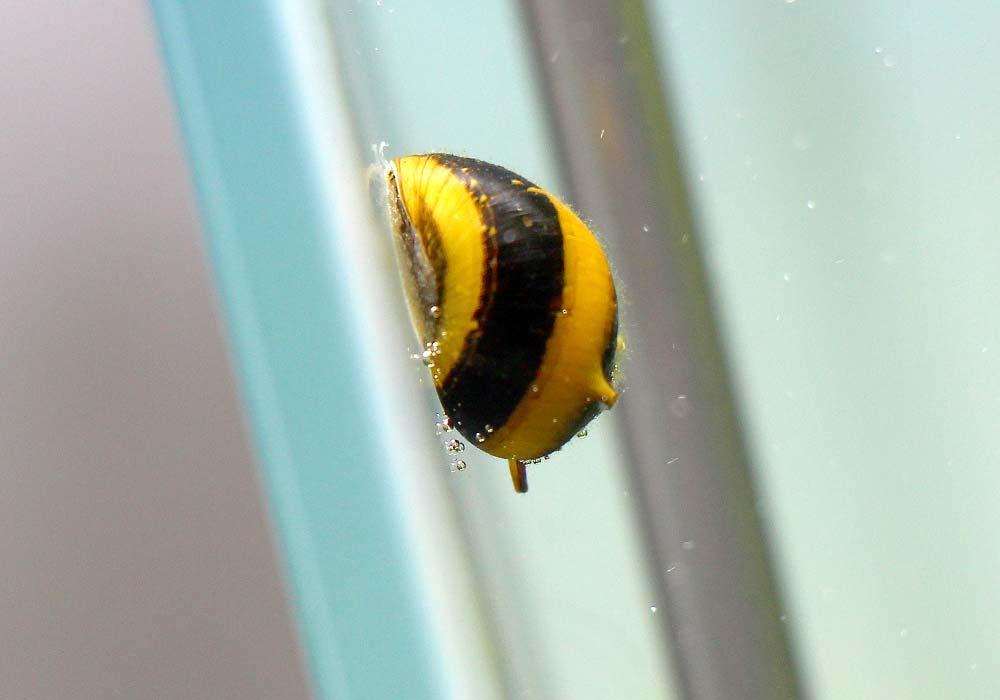 Geweihschnecken sind nützliche Schnecken im Aquarium
