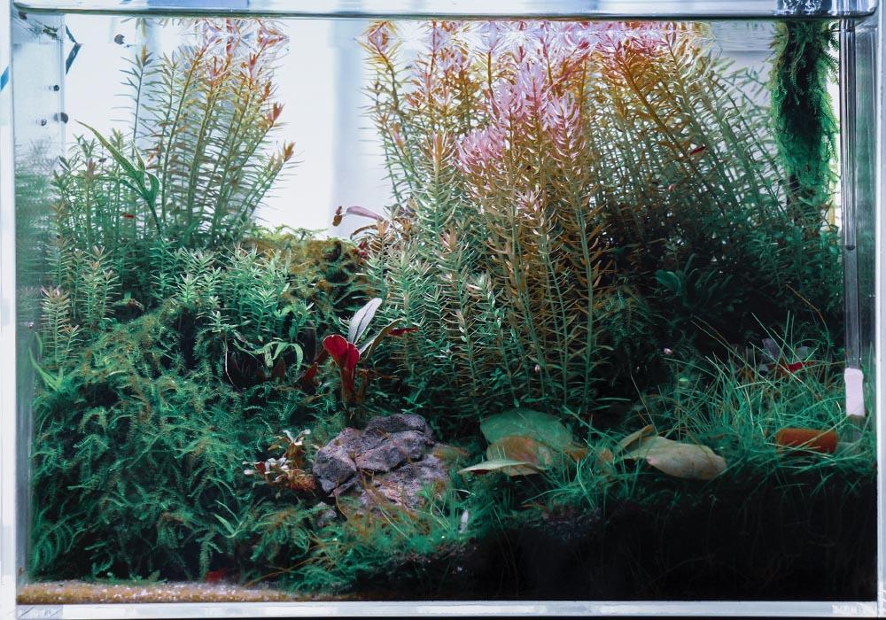 Ein Garnelenaquarium pflegen