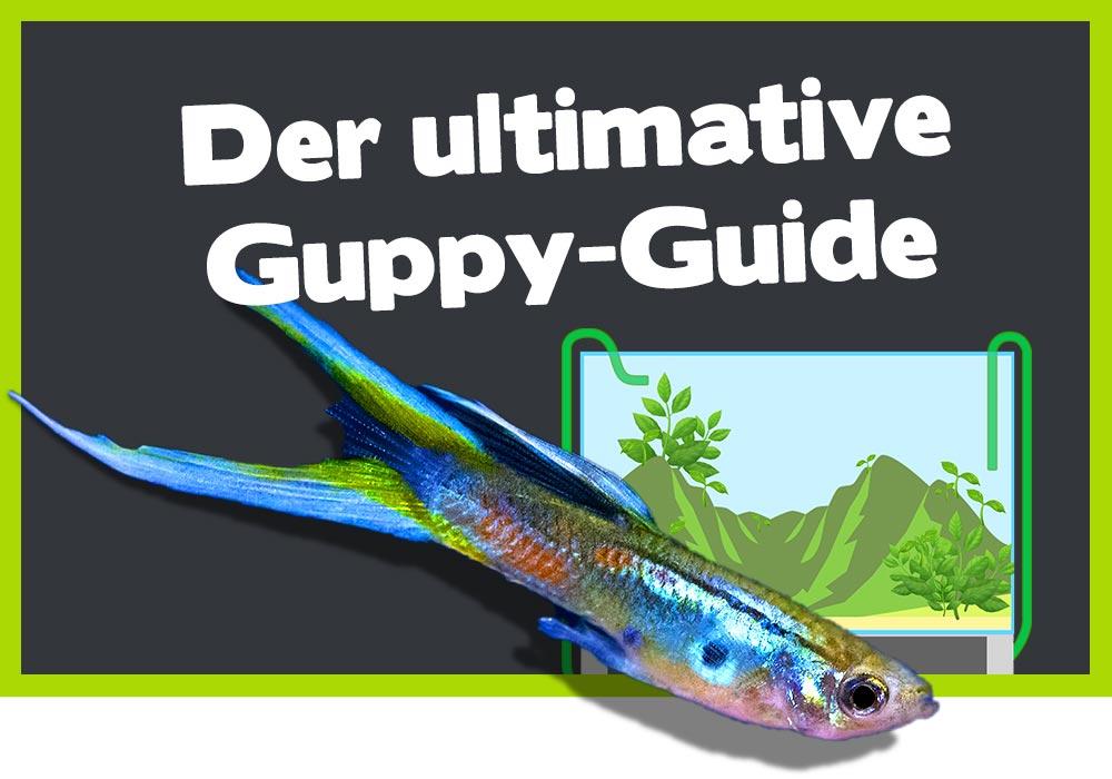 Der ultimative Guppy-Guide: alles Wissenswerte zu den Guppys 4