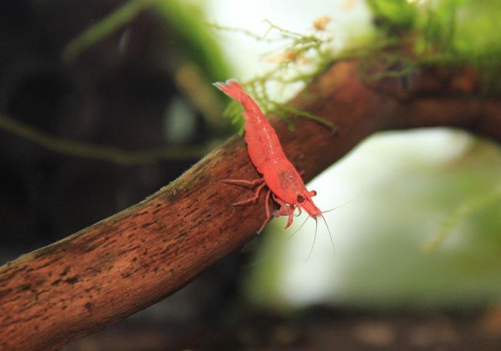 Neocaridina davidi sakura
