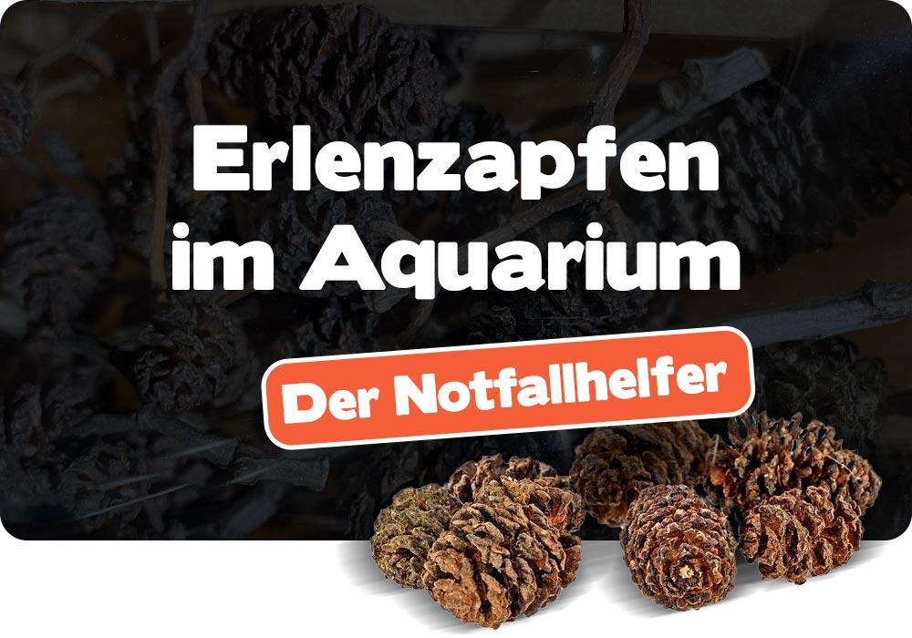 Erlenzapfen im Aquarium