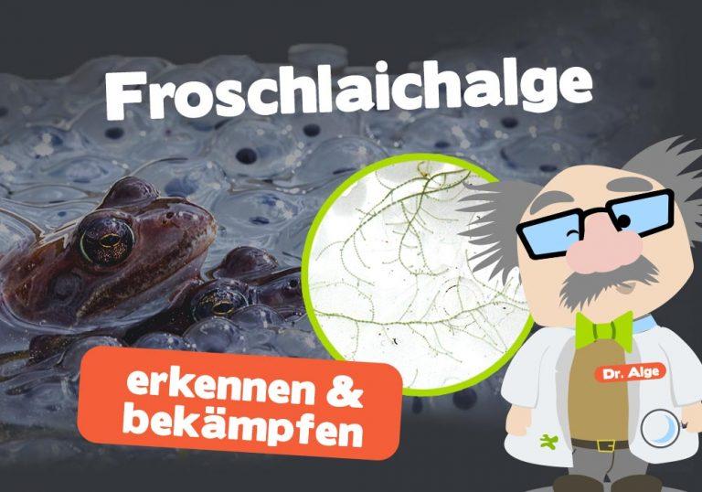 Froschlaichalgen im Aquarium