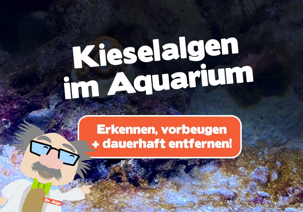 Kieselalgen im Aquarium